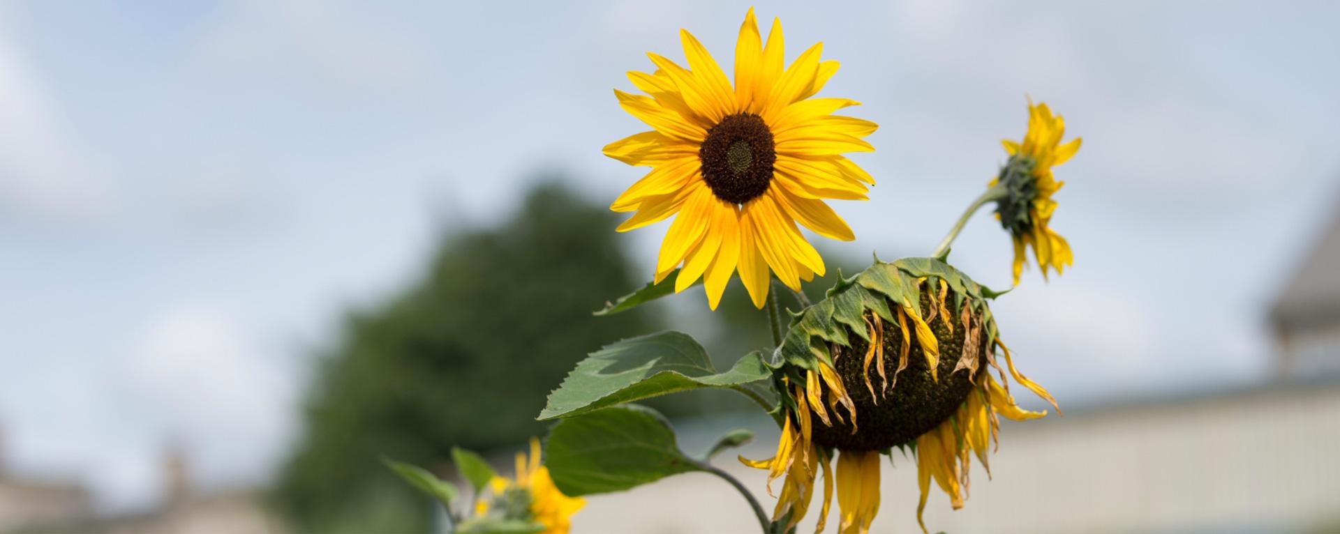 sliders_sunflower